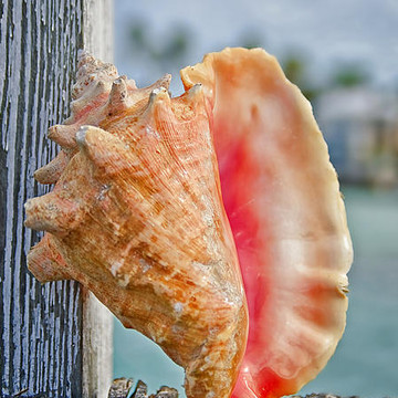 Conch Shells Collection