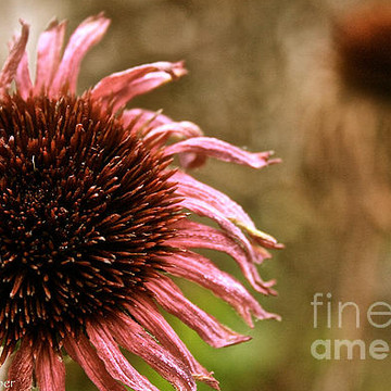 Cone Flower Echinacea Collection