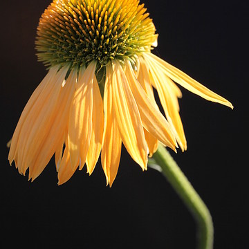 Coneflower Echinacea Collection