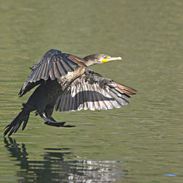 Cormorants Collection