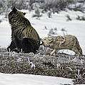 Coyotes-Stock Images Collection