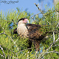 Crested Caracara Collection