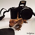 Crested Gecko  Collection