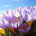CROCUS Flowers Art Prints Spring Collection