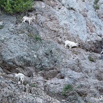 Dahl Sheep Collection