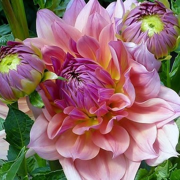 Dahlia Flowers Collection