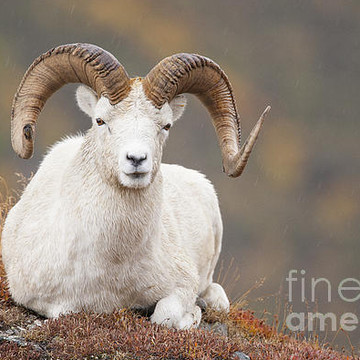 Dall Sheep Collection