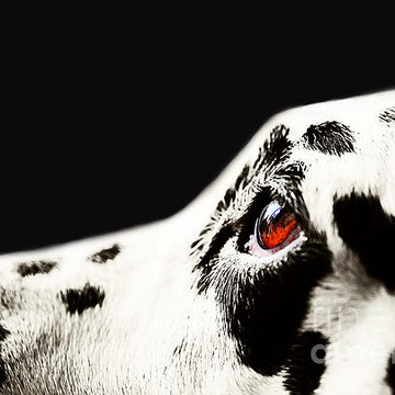 Dalmatian Dogs Collection