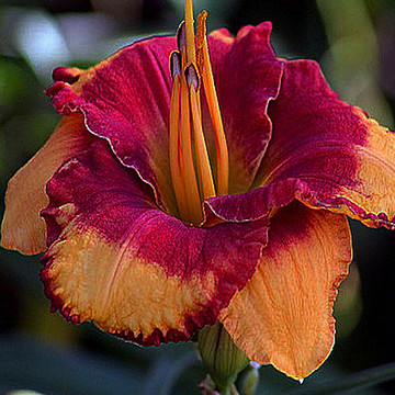 Daylilies Collection