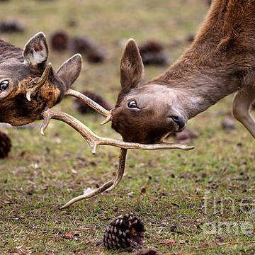 Deer Collection