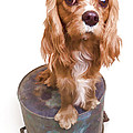 Dogs - Cavalier King Charles Spaniel Collection