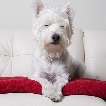 Dogs - Westies Collection