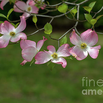 Dogwood  Blossoms Collection