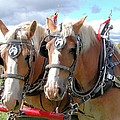 Draft Horses Collection