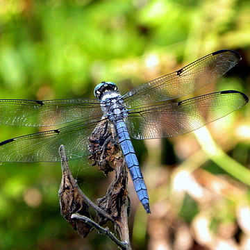 Dragonflies Collection