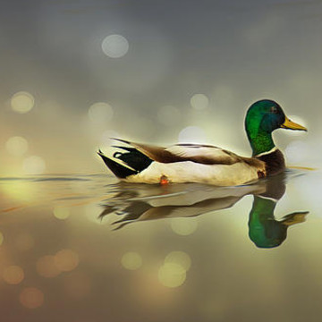Ducks and Waterfowl Collection