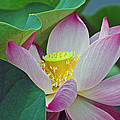 East Indian Sacred Lotus Collection