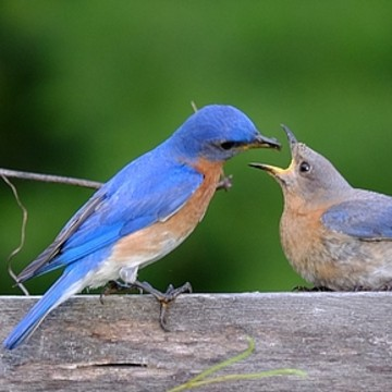 Eastern Bluebirds Collection