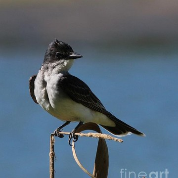 Eastern Kingbird Collection