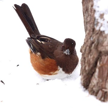 Eastern Towhee Collection