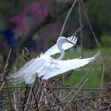 Egrets Family Collection