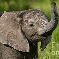 Elephants of Botswana Collection