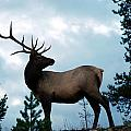 Elk of the Canadian Rockies Collection