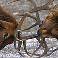 Elk-Stock Images Collection