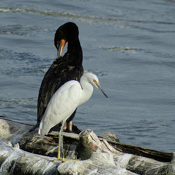 Feathered Waterfowl off CT Coast Collection