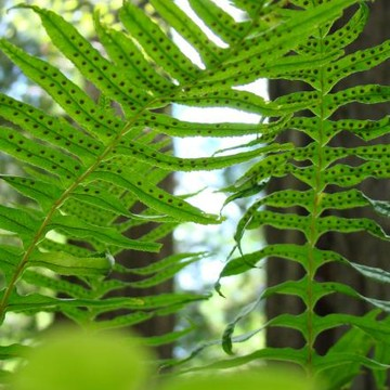 FERNS Art Prints GREEN FOREST FERNS Collection