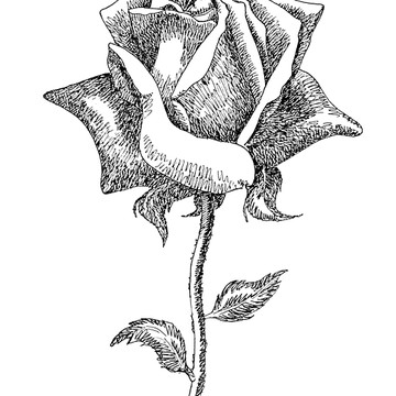 Flower Drawings - Black and White Collection