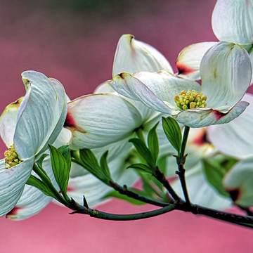 Flower Series - Cherry Blossoms - Dogwood Blossoms Collection
