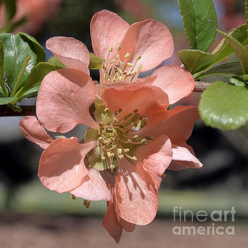 Flowering Quince Collection
