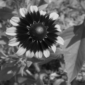 Flowers - In Black and White Collection