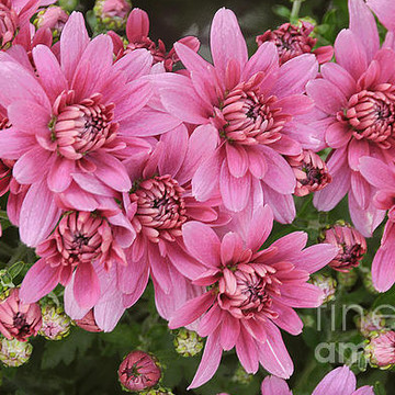 Flowers - Chrysanthemums Collection