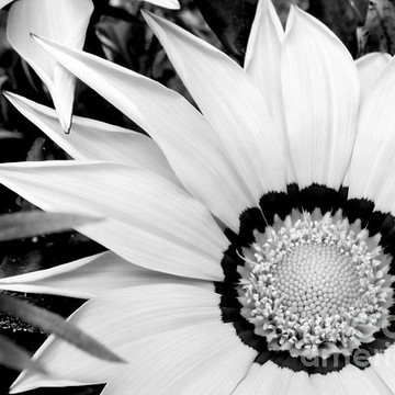 Flowers Series monochrome and selective coloring  Collection
