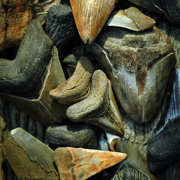 Fossils of the Miocene Collection