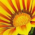 Gazanias and Treasure Flowers Collection