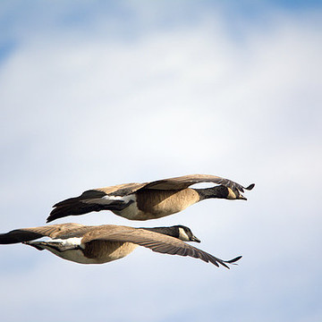 Geese Collection