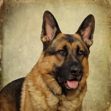 German Shepherd Dogs Collection