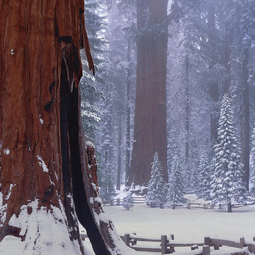 Giant Sequoias Collection