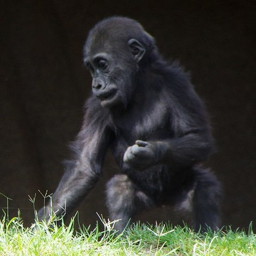 Gorilla Study-1-San Diego Safari Park Collection