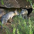 Gray Fox Adults and Juveniles Collection