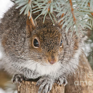 Gray Squirrel Collection