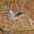 Great-Blue-Heron by Mary McAvoy Collection