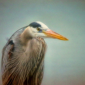 Great Blue Heron Collection