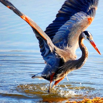 Great Blue Herons Collection