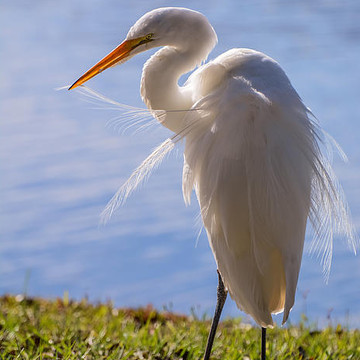 Great egret Collection