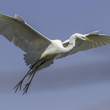 Great Egrets Collection