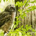 Great Horned Owl Collection